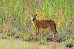 Dhole in nature Stock Photography