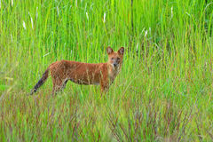 Dhole in nature Stock Images