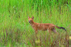 Dhole in nature Royalty Free Stock Photo