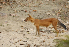 Dhole in pench tiger reserve Stock Photo