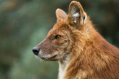 Dhole portrait Royalty Free Stock Photos