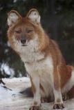 Dhole in sneeuw Royalty-vrije Stock Afbeeldingen