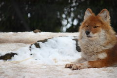 Dhole in snow Royalty Free Stock Photography