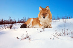 Dhole on snow Royalty Free Stock Photos