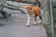 Dhole Royalty Free Stock Images