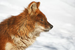 Dhole in Winter. The profile of a dhole (Cuon alpinus Stock Image