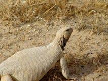 dhub蜥蜴 库存图片
