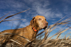 Dhunting dog seen through grass from below Royalty Free Stock Images