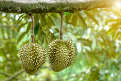 Dhurien fruite Royalty Free Stock Images