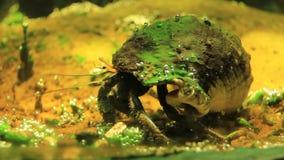 Diógenes-cangrejo almacen de video