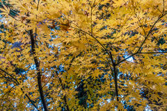 _2 di Autumn Maple Immagini Stock