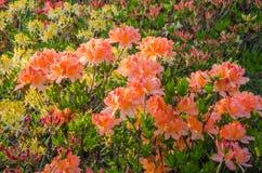 di azalea colorata di pesca contro lo sfondo delle foglie verdi e dei fiori gialli fotografia stock libera da diritti