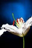 Di bianco macro lilly sul fondo blu di pendenza immagini stock