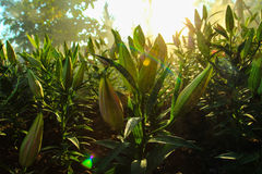 Di bianco petalo lilly Immagine Stock