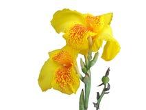 Di canna fiore giallo fresco lilly isolato su fondo bianco immagini stock libere da diritti