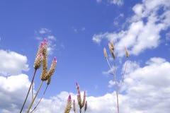 € di Caracas di Celosia «il fiore della cresta di gallo in natura contro il fondo del cielo blu fotografia stock libera da diritti