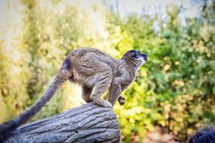 ` Di Catta delle lemure del ` delle lemure catta in safari-parco Immagini Stock Libere da Diritti
