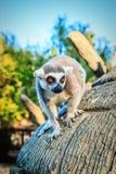 ` Di Catta delle lemure del ` delle lemure catta in safari-parco Fotografie Stock Libere da Diritti