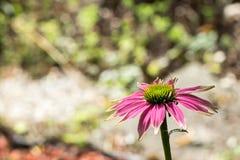 di coneflower colorato di rosa Immagine Stock