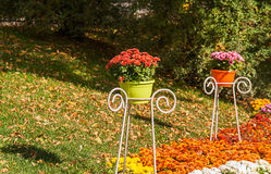 Di crisantemi colorati multi freschi in vaso da fiori in giardino Immagini Stock Libere da Diritti