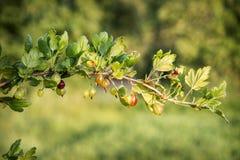 di estate c'è un cespuglio del agrus nel giardino Fotografia Stock