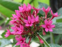 Di estate del fiore fine rosa lasciva su Fotografia Stock