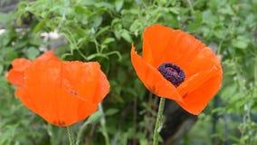 di estate, il giardino ha fiorito grande e bello, papavero arancio decorativo Fuoco selettivo video d archivio