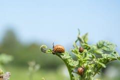 di estate nel giardino sulle dorifore di sidiata delle patate Immagine Stock