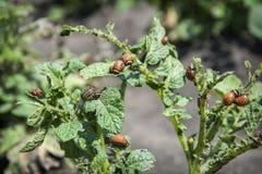 di estate nel giardino sulle dorifore di sidiata delle patate Fotografie Stock Libere da Diritti