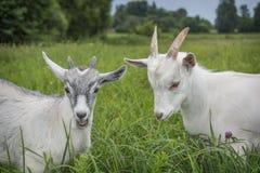 di estate, sul campo, due piccole capre nell'erba alta Immagine Stock