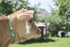 di estate, un piccolo vitello macchiato closeup Fotografie Stock Libere da Diritti