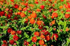 di fiori colorati Multi della lantana con i germogli Fotografia Stock Libera da Diritti