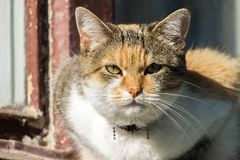 di gatto colorato Multi con uno sguardo sprezzante Fotografia Stock