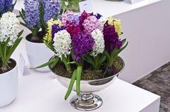 di giacinti colorati Multi in un vaso. Immagine Stock Libera da Diritti
