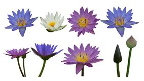 Di klippt färgrik lotusblomma på vit bakgrund royaltyfria foton