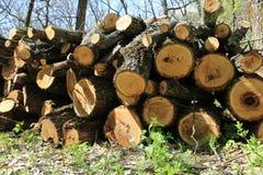 Di legno collega la foresta della molla Immagine Stock Libera da Diritti