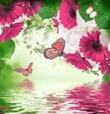 di margherite e di farfalla colorate Multi della gerbera su un bianco Fotografia Stock Libera da Diritti