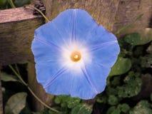 Di mattina di Glory Heavenly Blue Flower Plant fine su fotografia stock libera da diritti