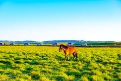 Di mattina, un cavallo è sul pascolo Fotografia Stock Libera da Diritti