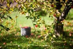 di melo Fotografia Stock