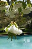 Di melo bianco del fiore fiorisce il primo piano Fotografia Stock Libera da Diritti