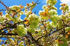 Di melo bianco del fiore fiorisce il primo piano Immagine Stock