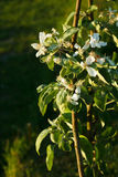 Di melo colonnare in fiore immagini stock