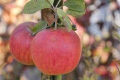 Di melo con la mela immagine stock