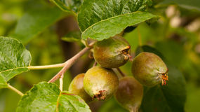 Di melo con le piccole mele crescenti Immagine Stock