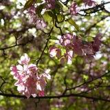 Di melo decorativo di fioritura Fiori rosa fragranti nel giorno soleggiato Immagini Stock Libere da Diritti