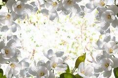 Di melo dei fiori bianchi della pagina Immagini Stock Libere da Diritti