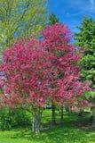Di melo del granchio che fiorisce nel colore di primavera Fotografia Stock