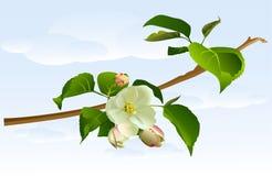 Di melo del ramo con i fiori Immagine Stock Libera da Diritti