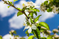 Di melo di Bluming Fotografia Stock